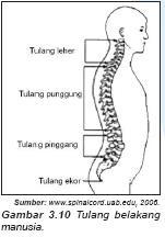 kerangka punggung